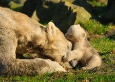 Polar bear and cub. Close-up of a polar bear and her cute cub Royalty Free Stock Image