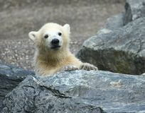 Polar bear cub. Young polar bear looking at you Stock Photo