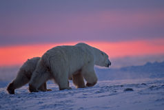 Polar bear and cub in Arctic sunset. Polar bear  with her cub crossing Arctic tundra at sunset Stock Images