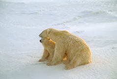 Polar bear and cub in Arctic wind Royalty Free Stock Images