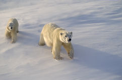 Polar bear and cub in Canadian Arctic Royalty Free Stock Photography