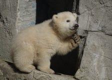 Polar bear cub. In Copenhagen Zoo stock photos