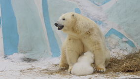 Polar bear cub eats milk from hes mother in a zoo stock video