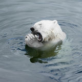 Polar bear cub Royalty Free Stock Images