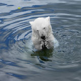 Polar bear cub Royalty Free Stock Image
