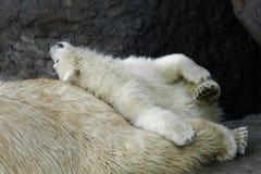 Polar bear cub with his mother stock photos