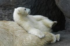 Polar bear cub with his mother stock images