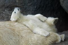 Polar bear cub with his mother. Animals: playful polar bear cub having a rest at his mom back royalty free stock photography