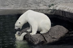 Polar she-bear with cub.  Stock Image