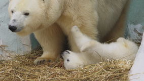 Polar bear cub lies and plays near his mother in a zoo stock video