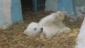 Polar bear cub lies in a zoo stock footage