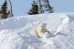 Polar bear cub playing around Royalty Free Stock Images