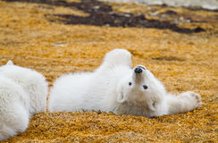 Polar bear cub playing. A polar bear cub rolling around on orange vegetation Royalty Free Stock Photo