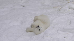 Polar bear cub rests and plays in a snow