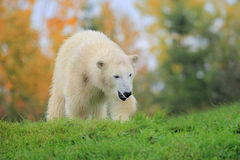 Polar bear cub. The polar bear cub is seeking food royalty free stock photos