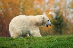 Polar bear cub Royalty Free Stock Photo