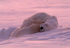 Polar bear cub sleeping with mother Stock Photography