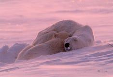 Polar bear cub sleeping with mother. Soft pink Arctic sun, polar bear cub sleeping Stock Photography