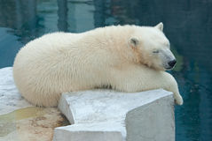 Polar bear cub sleeps Royalty Free Stock Images