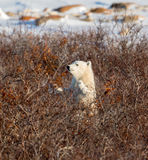 Polar bear cub Royalty Free Stock Photo