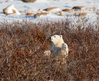 Polar bear cub Royalty Free Stock Photography
