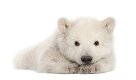 Polar bear cub, Ursus maritimus, 3 months old. Lying against white background stock photography