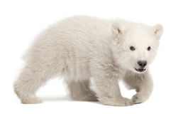 Polar bear cub, Ursus maritimus, 3 months old. Walking against white background royalty free stock images