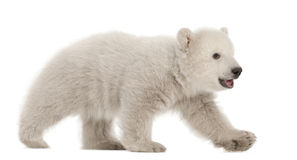 Polar bear cub, Ursus maritimus, 3 months old. Walking against white background stock photos