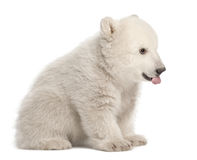Polar bear cub, Ursus maritimus, 3 months old. Sitting against white background royalty free stock photo