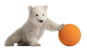 Polar bear cub, Ursus maritimus, 3 months old. Playing with orange ball against white background royalty free stock photography