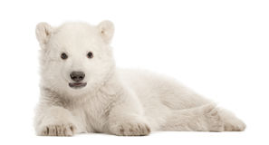 Polar bear cub, Ursus maritimus, 3 months old. Lying against white background royalty free stock images