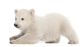 Polar bear cub, Ursus maritimus, 3 months old Stock Image