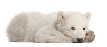 Polar bear cub, Ursus maritimus, 3 months old. Lying against white background stock photos