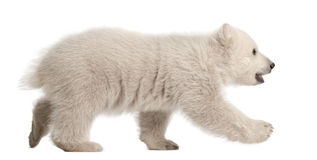 Polar bear cub, Ursus maritimus, 3 months old. Walking against white background royalty free stock photography