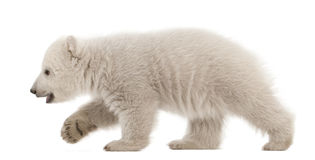 Polar bear cub, Ursus maritimus, 3 months old Stock Photo