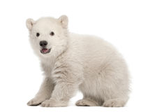 Polar bear cub, Ursus maritimus, 3 months old. Standing against white background stock images