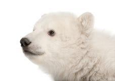 Polar bear cub, Ursus maritimus, 3 months old. Sitting against white background stock photos