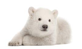 Polar bear cub, Ursus maritimus, 3 months old stock photos
