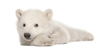 Polar bear cub, Ursus maritimus, 3 months old. Lying against white background royalty free stock photos