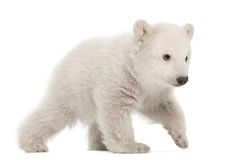 Polar bear cub, Ursus maritimus, 3 months old. Walking against white background stock photo