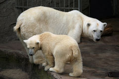 Polar bear cub. (Ursus maritimus) with its mum Stock Photography