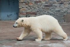 Polar bear cub walks Royalty Free Stock Photo