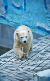 Polar bear cub walks Royalty Free Stock Photos