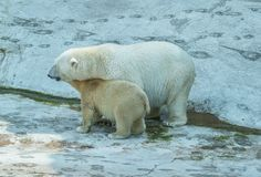 Polar bear with cub Stock Photography