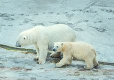 Polar bear with cub. Royalty Free Stock Image