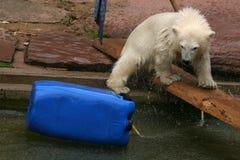 Polar bear cub & x28;Ursus maritimus& x29; Stock Photography