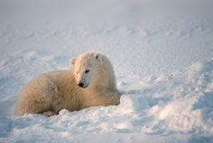 Polar bear cub of the year. Polar bear cub in Canadian Arctic Stock Photo