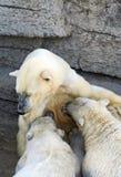 Polar bear cubs Stock Image