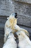 Polar bear cubs Stock Photo