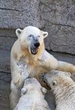 Polar bear cubs Stock Images